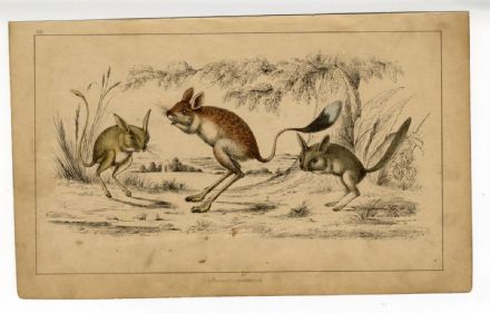 1851 Antique Print JERBOA RODENT Victorian OLIVER GOLDSMITH Hand Colour